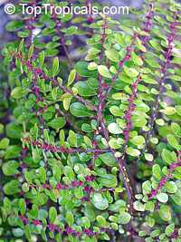 Pilea microphylla, Pilea serpyllacea, Artillery Plant, Gunpowder Plant Click to see full-size image