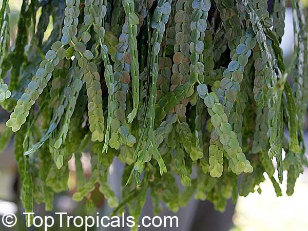 Lycopodium Sp Rock Tassel Fern Club Moss Toptropicals