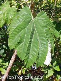 Tetrapanax papyriferus, Tetrapanax papyrifer, Fatsia papyrifer, Aralia papyrifera , Rice-Paper Tree   Click to see full-size image