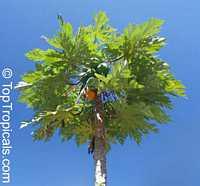 Carica papaya, PapayaClick to see full-size image