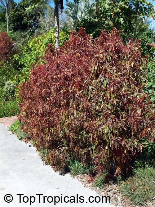 Acalypha Godseffiana Copper Leaf Beefsteak Plant Fire Dragon