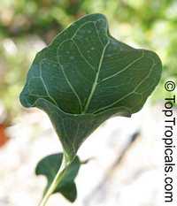 Ficus krishnae, Ficus benghalensis var. krishnae , Krishna Fig, Krishna Butter Cup   Click to see full-size image