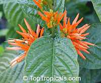 Justicia corumbensis, Jacobinia corumbensis, Plume Flower  Click to see full-size image