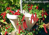 Acalypha hispaniolae, Acalypha pendula, Dwarf Cat Tails, Kitten�s Tail, Trailing Acalypha