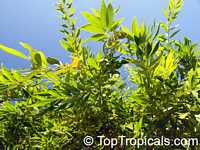 Cocculus laurifolius, Laurel-leaf SnailseedClick to see full-size image