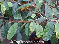 Chrysophyllum cainito, Achras caimito, Caimito, Star Apple, Satin Leaf  Click to see full-size image