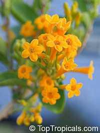 Cestrum aurantiacum, Cestrum chaculanum, Cestrum paucinervium, Yellow Cestrum  Click to see full-size image