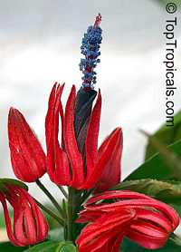 Pavonia multiflora - Brazilian Candles  Click to see full-size image