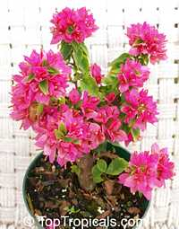 Bougainvillea Sunvillea Rose (Dwarf Pixie)