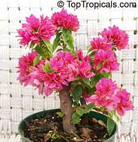 Bougainvillea Dwarf Pixie  Click to see full-size image