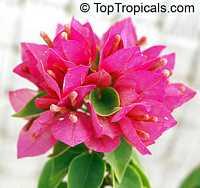 Bougainvillea arborea Dwarf, Dwarf Bonsai BougainvilleaClick to see full-size image