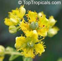 Ruta graveolens, Ruda, Meadow Rue, Herb of Grace, Garden Rue, Herbygrass, Weinkraut  Click to see full-size image