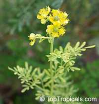 Ruta graveolens, Ruda, Meadow Rue, Herb of Grace, Garden Rue, Herbygrass, WeinkrautClick to see full-size image