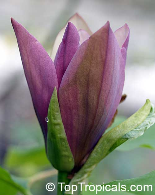 Bunga Cempaka Indah di Taman
