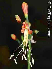 Eucrosia bicolor , Peruvian LilyClick to see full-size image