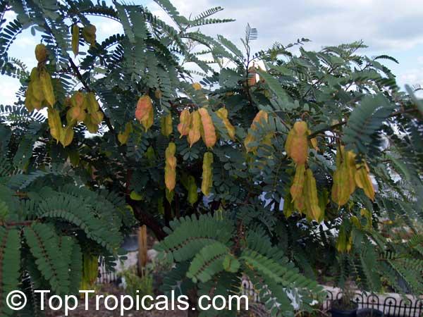 http://toptropicals.com/pics/garden/07/35/P4033606.jpg