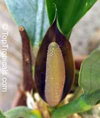 Anthurium coriaceum, Pothos coriacea, Paddle-leaf Anthurium Click to see full-size image