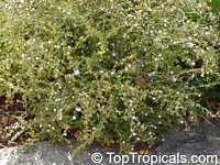 Serissa foetida, Serissa japonica, Serissa crassiramea, Tree of a Thousand Stars, Chinese Flowering White Serissa  Click to see full-size image