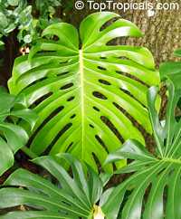 Monstera deliciosa - Swiss cheese plant  Click to see full-size image