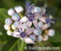 Dichroa sp., Dichroa  Click to see full-size image