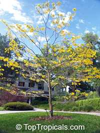 Tabebuia chrysantha - seeds  Click to see full-size image