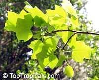 Liriodendron tulipifera, Tulip tree, Yellow Poplar, Tulip Magnolia, WhitewoodClick to see full-size image