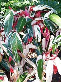 Stromanthe amabilis - Never-Never Plant  Click to see full-size image