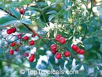 Nandina domestica - seeds