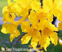 Tabebuia umbellata, Yellow Trumpet Click to see full-size image
