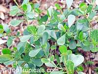 Clusia guttifera , Small Leaf Clusia, Dwarf Autograph Tree, Small Leaf Pitch Apple   Click to see full-size image