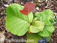 Coccoloba pubescens, Grandleaf Seagrape, Tin Roof Tree