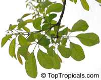 Tabebuia impetiginosa, Dwarf Pink Tabebuia  Click to see full-size image