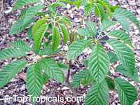 Tabebuia alba, Tecoma alba , Lapacho Amarillo  Click to see full-size image