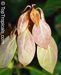 Neolitsea sericea, NeolitseaClick to see full-size image