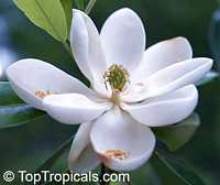 Magnolia virginiana, Florida Bay Laurel, Sweet Bay  Click to see full-size image
