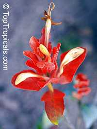 Ruellia colorata, ColoramaClick to see full-size image