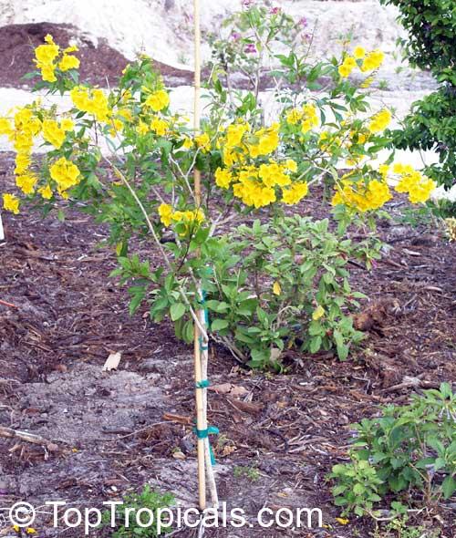Tecoma Stans Bignonia Stans Yellow Elder Yellow Bells