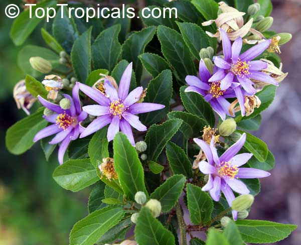 Grewia occidentalis, Lavender Star Flower Click to see full-size image