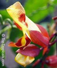 Thunbergia mysorensis, Thunbergia Anderson x Bedd, Hexacentris mysorensis, Clock Vine  Click to see full-size image