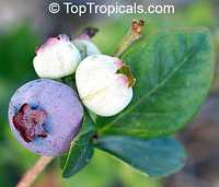 Vaccinium corymbosum, Tropical Blueberry, Lowbush Blueberry  Click to see full-size image
