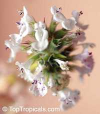 Nepeta cataria, Catnip Click to see full-size image