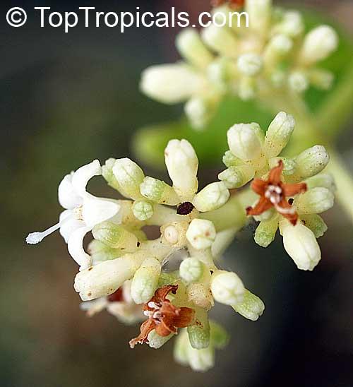 Psychotria ipecacuanha, Cephaelis ipecacuanha, Ipecacuanha ...