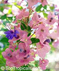 Holmskioldia taitensis, Holmskoldia tettensis, Karomia speciosa , Tahitian HatClick to see full-size image