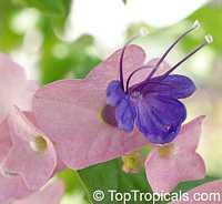Holmskioldia taitensis, Holmskoldia tettensis, Karomia speciosa , Tahitian Hat  Click to see full-size image