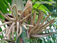 Burretiokentia hapala, Burretiokentia  Click to see full-size image