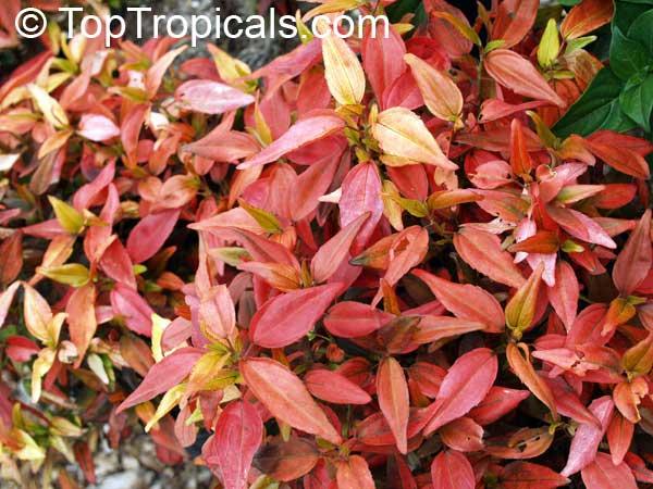 Acalypha Inferno Flame Copper Leaf Toptropicalscom