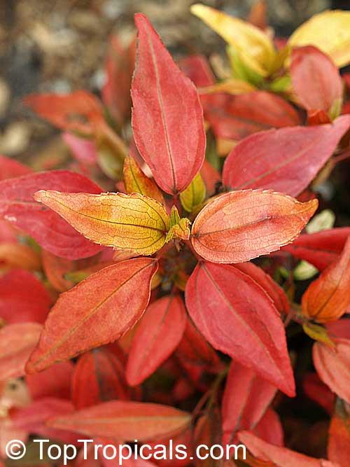 Acalypha Inferno Flame Copper Leaf Toptropicals Com