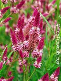 Celosia spicata , Amaranth Celosia  Click to see full-size image