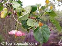 Thespesia grandiflora, Montezuma speciocissima , Maga  Click to see full-size image