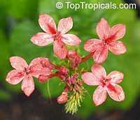 Ruspolia hypocrateriformis, Ruddy Rose, Pricklybush  Click to see full-size image